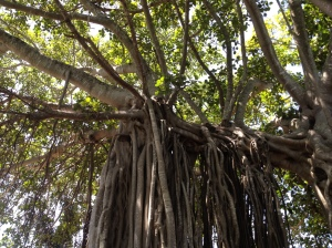 banyan tree with roots
